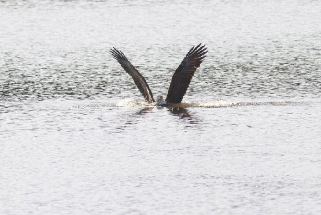 El dramático momento en que un águila calva va a cazar. ¿Su presa? ¡Un p...