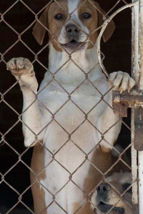 Para realizar el sacrificio de los perros callejeros se utiliza una sobr...