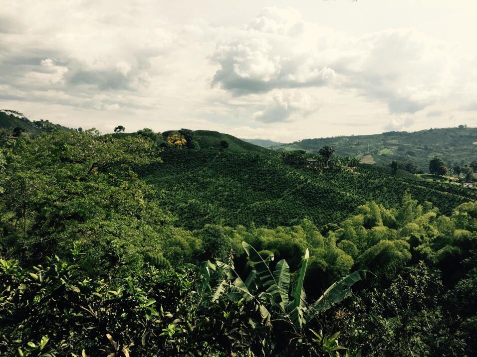 Siembra de café en Manizales, Colombia
