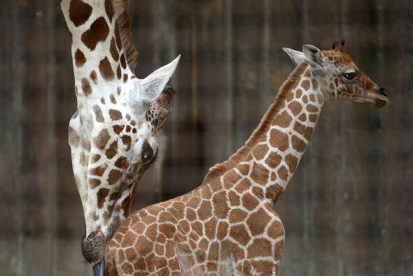 El papá de los bebés es una jirafa de 12 años llama...
