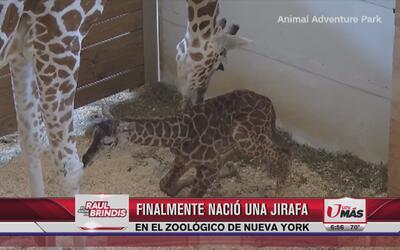 Nace jirafa en el zoológico de Nueva York