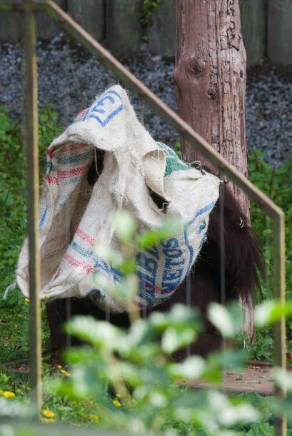 Gambira de 16 años de edad fue la única de cinco orangutan...