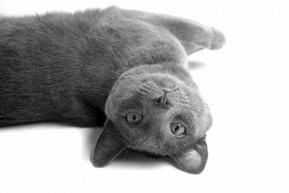 Korat o gato de la suerte. Además de soltar poco pelo, es una de las raz...