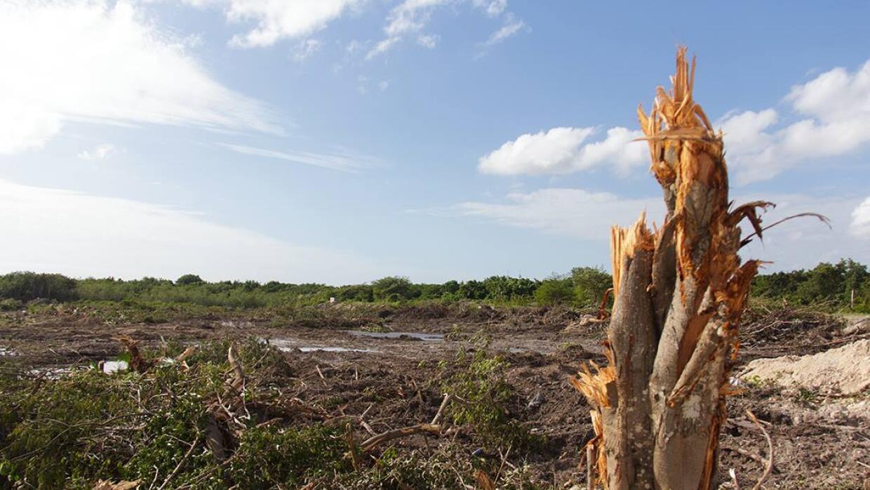 Tala en el manglar Tajamar.