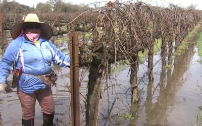Sixta Delgado trabaja en uno de los viñedos inundados por las rec...