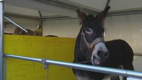 Cientos de animales fueron llevados hasta los límites del Vaticano para...