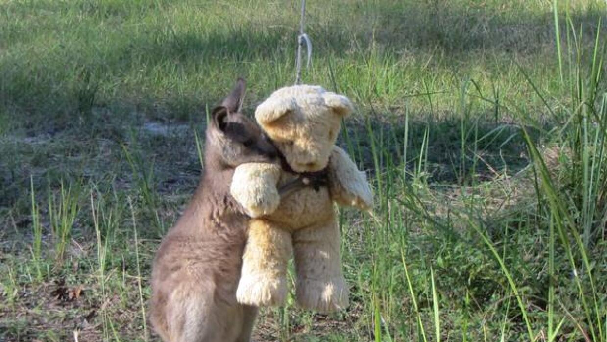 Canguro abrazando un oso de peluche