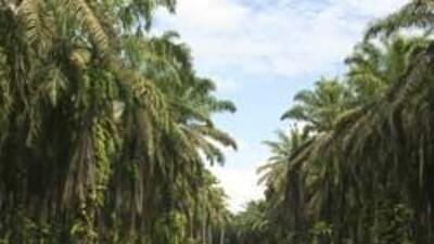 Las palmas están en peligro 85f546ca2b1a46ec80e0d3c4e1a2e860.jpg