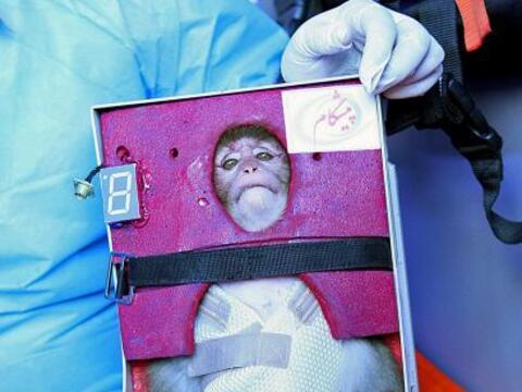 Un mono de cresta gris atado con tirantes a un receptáculo que pa...
