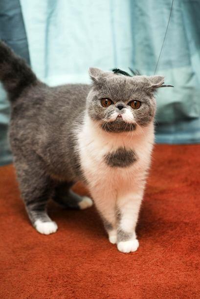 Obviamente, la característica por la que más resaltó este gatito fueron...