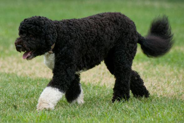 Este perro de aguas portugués, el consentido de la Casa Blanca, luce así...