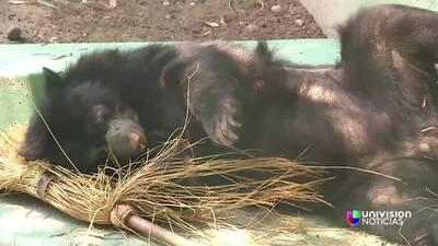 Conoce al oso de anteojos y los esfuerzos por su conservación.