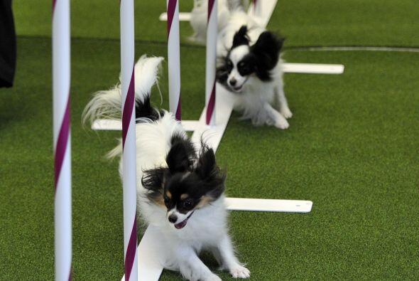 Por esta razón, los perros presentes en el 'Westminster Kennel Club Dog...