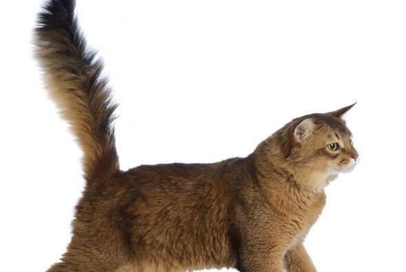 Estremecimiento y temblores. Si la punta cola de tu gato no sólo tiembla...