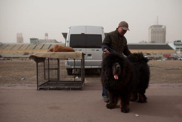 Como todas las razas de perros gigantes, sus proporciones son su mayor c...