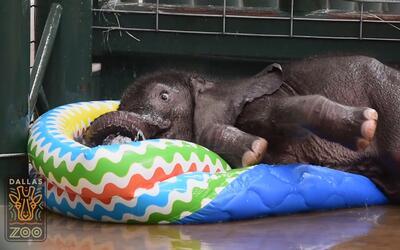 Elefantito se refresca en el zoo de Dallas