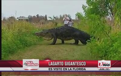 Lagarto gigantesco es visto en Florida