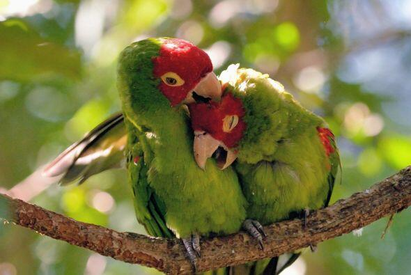 Como unos verdaderos tórtolos, las aves se abrazan, se acurrucan...