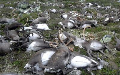 Los cuerpos sin vida de al menos 300 renos salvajes quedaron tendidos en...