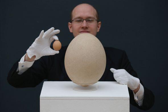 Un rarísimo ejemplar de huevo de la extinta 'ave elefante', de Madagasca...