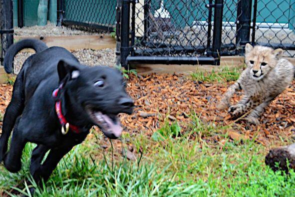 Aquí podemos ver a los dos adorables cachorros jugando, alg&uacut...