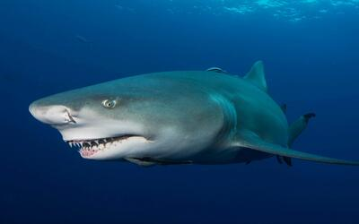 Concentraciones únicas de tiburones en Florida se encuentran amenazadas