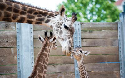 Nace una nueva jirafa en el Zoológico de Houston