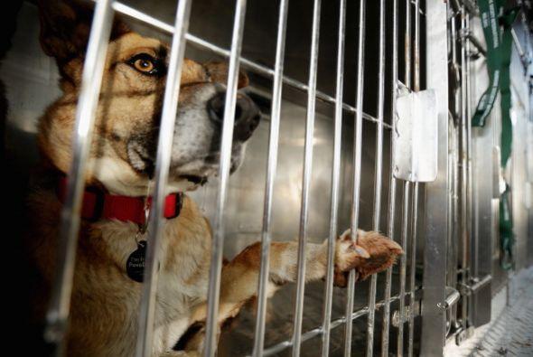 Los criadores o vendedores de perros, también buscan revender a los perr...