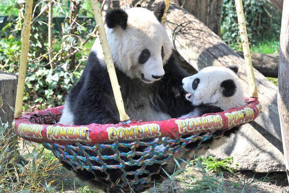 El bebé panda se veía radiante pasando una tarde con su ma...