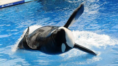 Sea World estima que Tilikum tenía 36 años y estuvo casi 2...