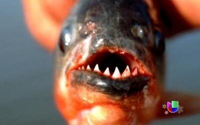 Peces carnívoros atacan a bañistas en Argentina