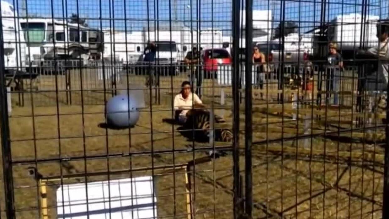 Tigre ataca a su entrenadora en una feria frente a un grupo de niños
