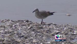 Miles de peces muertos en playas de Texas