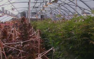 Pacientes con enfermedades crónicas recibirán marihuana medicinal en sus...