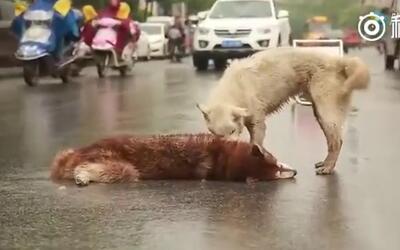 En video: Un perro se desespera a ver a su amigo muerto e intenta revivirlo