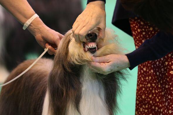 Antes de que puedan competir, estos perros tienen que ser revisados de h...