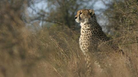 Se estima que quedan apenas 7,100 guepardos salvajes en el mundo.