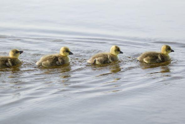 Lucen muy cómodos para ser la primera vez que nadan.