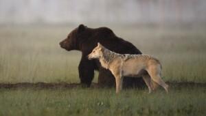 Amistad entre un oso y un lobo
