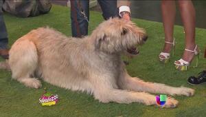 Sabadazoo presenta al perro más grande del mundo