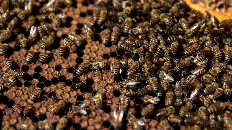 ¿Te inyectarías veneno de abejas para evitar las arrugas de la cara?