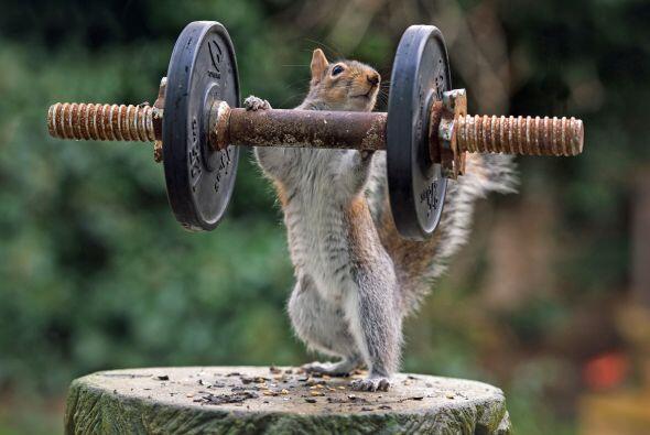 Un poco de ejercicio no le cae mal a este pequeño roedor, posa tan natur...