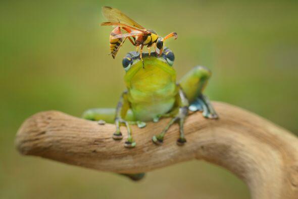 La rana gozaba su día cuando un peligroso insecto usó su c...