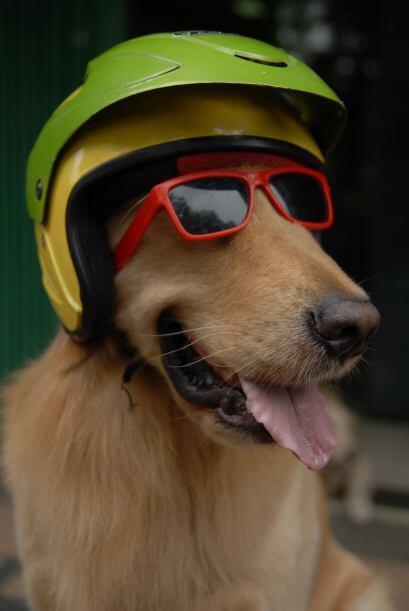 Además, estps cascps hacen lucir muy fashion a estos perros.