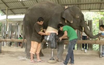 ¿Una prótesis para elefantes?