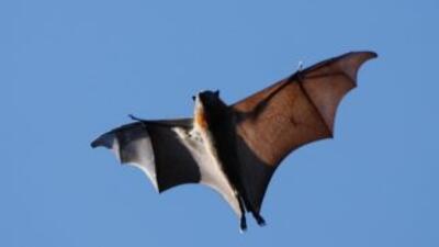 El año pasado, 49 murciélagos y una vaca dieron positivo a rabia en Illi...