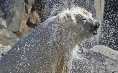 Osa polar del Zoológico Brookfield busca llamar la atención de un oso bl...