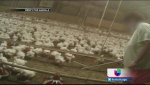 Denuncian presunto abuso a pollos
