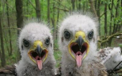 Polluelos de águila moteada. Foto: Valeriy Yurko.