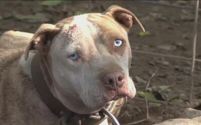 ¿Es seguro tener de mascota a un perro de la raza 'pitbull'?